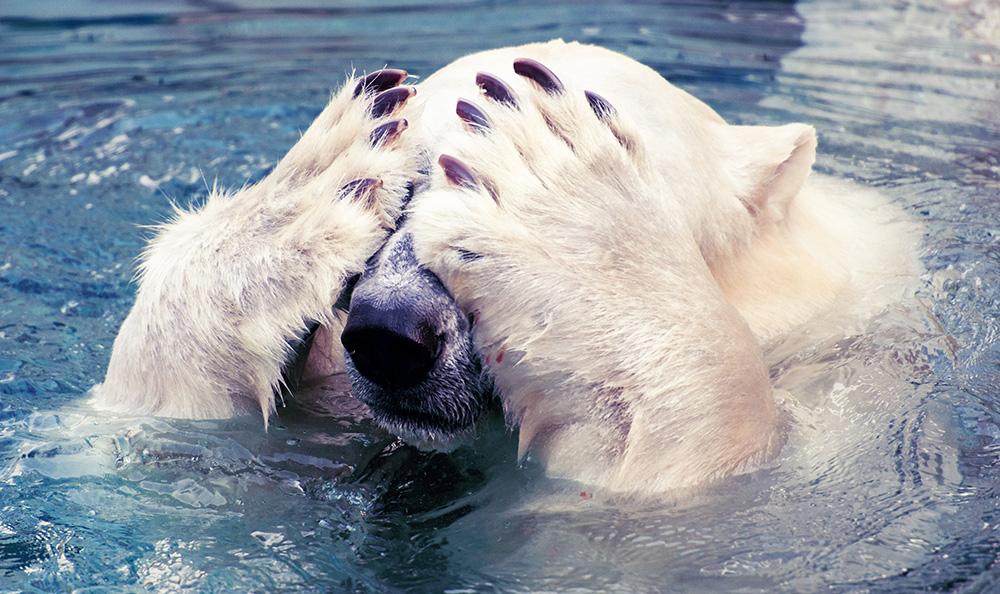 Polar Bear Scoffs at Apocalypse Never Michael Schellenberger Misleading Book & Op-Ed